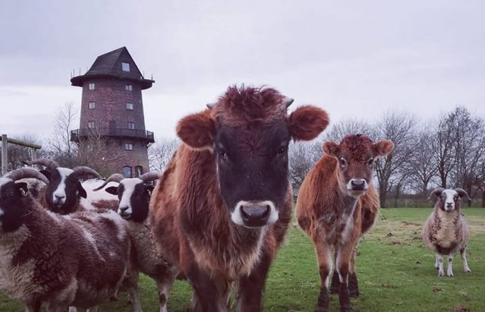 windmill animal farm